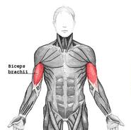 Biceps brachii