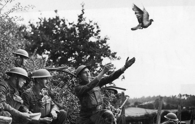 File:Carrier PIgeon IRL.jpg