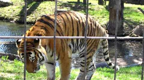 Calgary Zoo Tiger Throwing Up!!