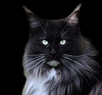 Black Smoke Maine Coon Cat - 0425