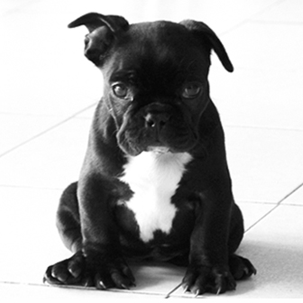 Ficheiro:Bulldog frances.jpg