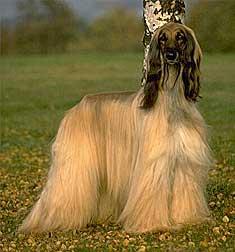 Ficheiro:Afghanhound.jpg