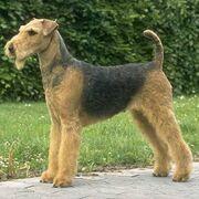 Airedale-terrier 2.jpg