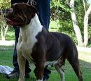 Bulldog brasileiro