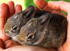 Twin-baby-rabbits