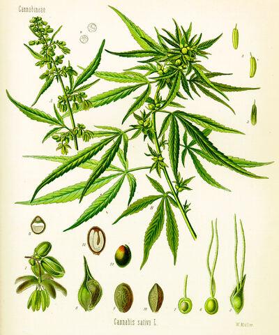 File:Cannabis sativa koehler drawing.jpg