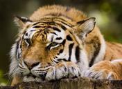 File:Belgan tigers.jpg
