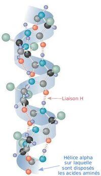 AlphaHelixProtein fr.jpg