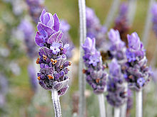 File:220px-Single lavendar flower02.jpg