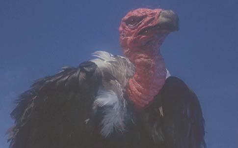 File:Vulture 2.jpg