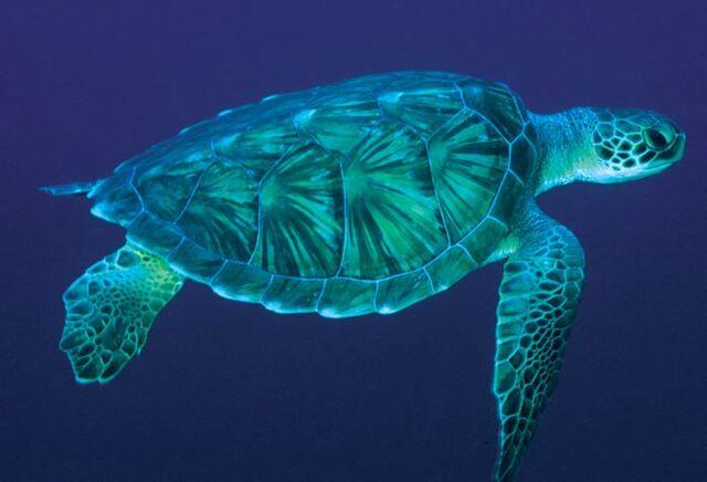 File:Sea-turtle-2.jpg