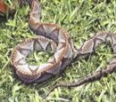 Bothrops colombianus