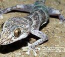 Gecko colombiano de dedos de hoja
