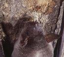 Murciélago pescador