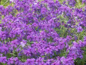 922740 violets