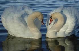 File:Last Swan.jpg