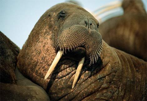 File:Walrus-8930.jpg