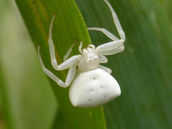 File:White-spider.jpg