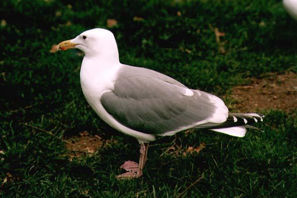File:Seagull01.jpg
