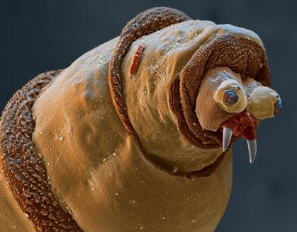 File:The-face-of-a-maggot crop.jpg