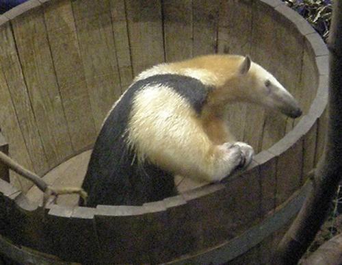 File:Anteater-pet.jpg