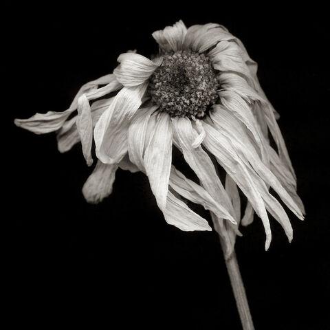 File:Daisy-3.jpg