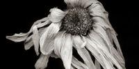 The Dead Flower