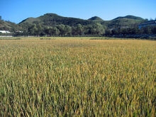 Rice Field near Wonsan