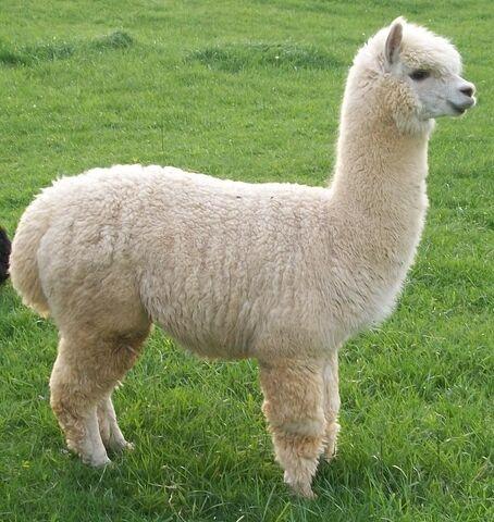 File:Alpaca--.jpg