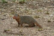 250px-Serengeti Mongoose