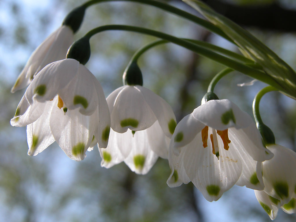 Panoramio - Photo of First flowers of spring - Snow bells ...