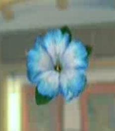 File:DOAXBVBlueHibiscus.jpg