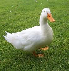 File:A duck.jpg