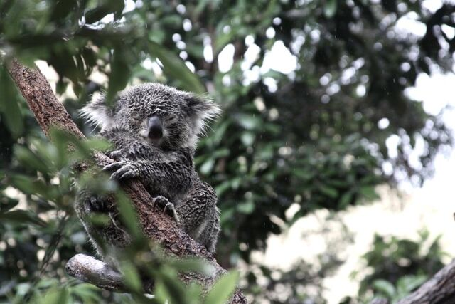 File:Koala3.jpg