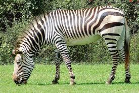 File:A zebra.jpg