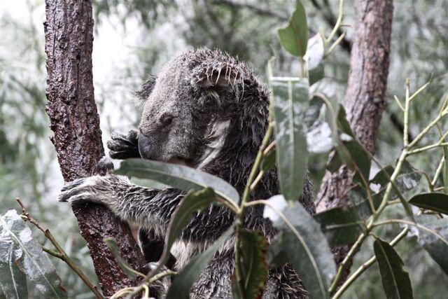 File:Koala2.jpg