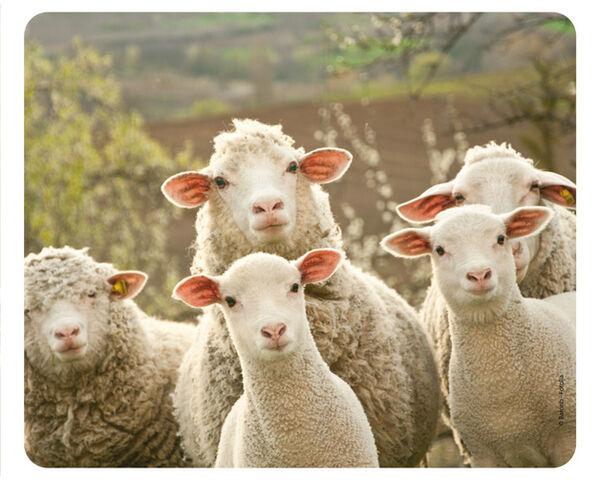 Datei:Schafe Sprechstunde.jpg