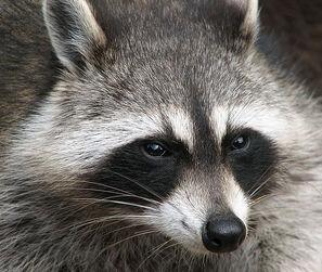 711px-Raccoon (Procyon lotor) 2