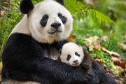 BIC Panda