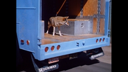 Coyote on a truck