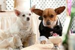 Beverly-hills-chihuahua-2
