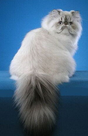 Lynx Point Persian cat