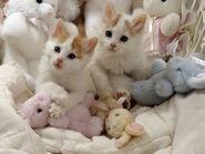 Little Turkish Van kitties