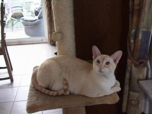 Cinnamon Tabby Point Siamese