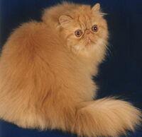 Ginger Persian cat