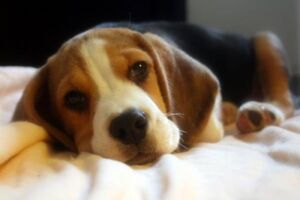 Beagle cute puppy 2