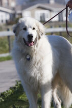 Great Pyrenees Tavish