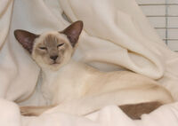 Caramel Point Siamese