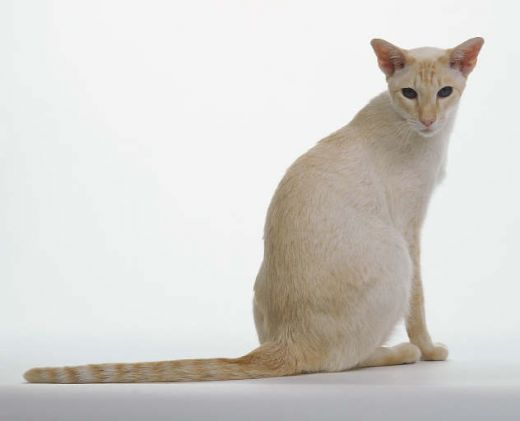Image - Red-Flame Point Siamese.jpg | Dogs and Cats Wiki | Fandom ...