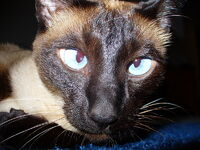 Parti-Color Siamese